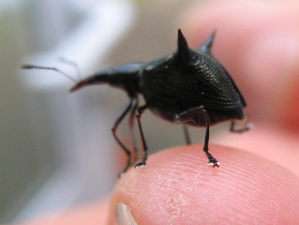 Thorny Weevil